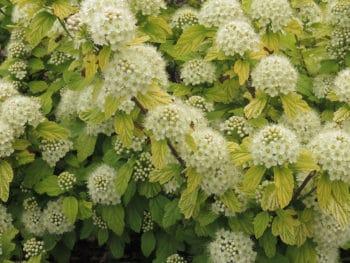 Common Ninebark Physocarpus Opulifolius