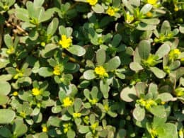 How to Plant Purslane