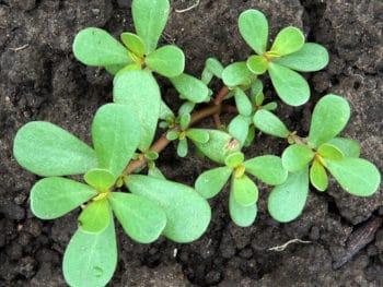 Planting Purslane by Transplanting