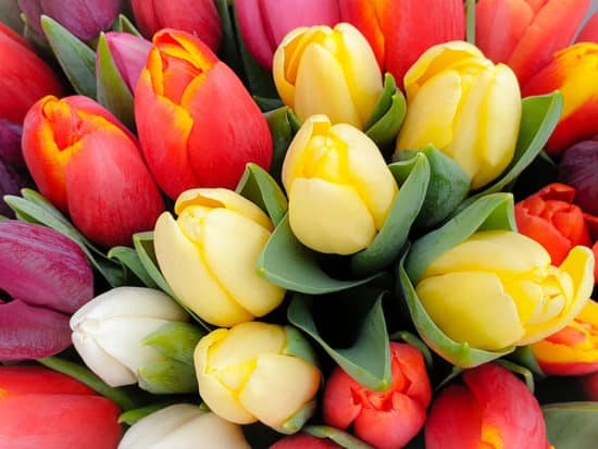 A Bouquet of Vibrant and Colorful Tulip Bulbs