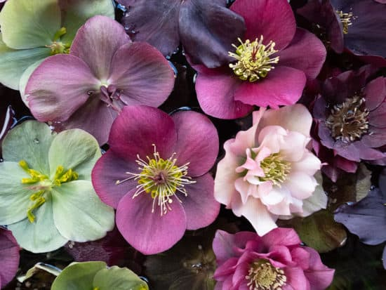 A Bunch of Hellebore Flowers of Various Colors