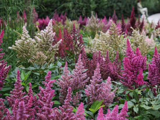 A Field Of Astilbes in Many Colors