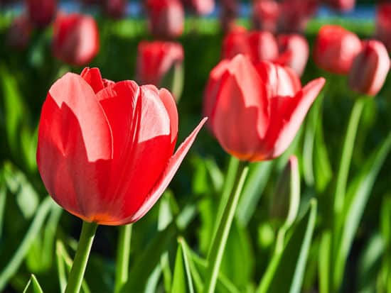 A Field Red Tulip Bulbs on a Sunny Day