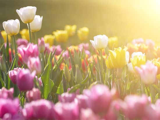 Amazing Field of Tulips against Sunset Light