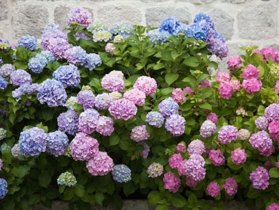 Beautiful Hydrangea Bushes against a Stone Wall