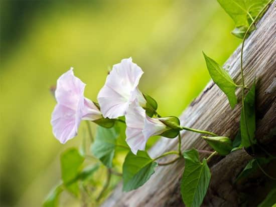 Beautiful pink bindweed