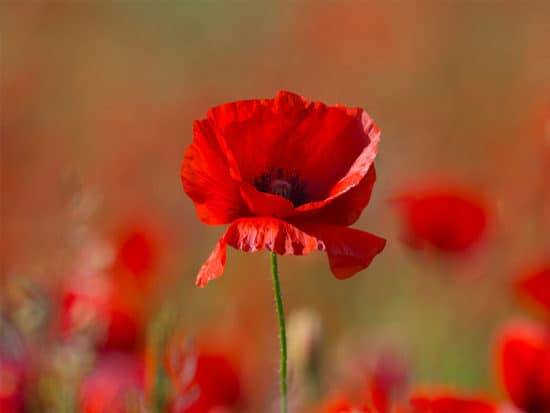 Beautiful poppy flower