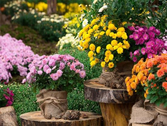 Bouquet beautiful chrysanthemum