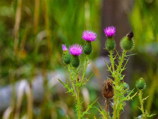 Canada thistles bloom