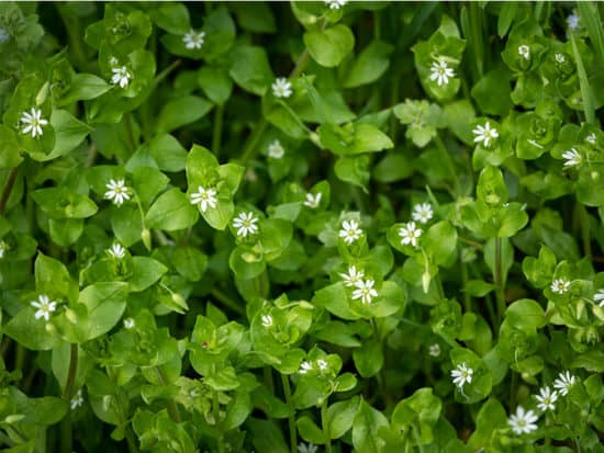 Chickweed small white