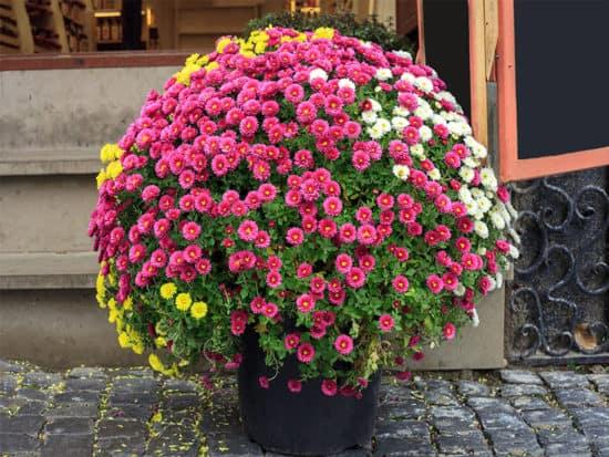 Chrysanthemums small