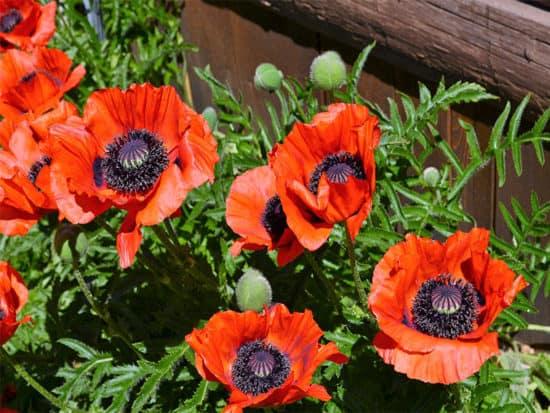 Cluster orange poppies