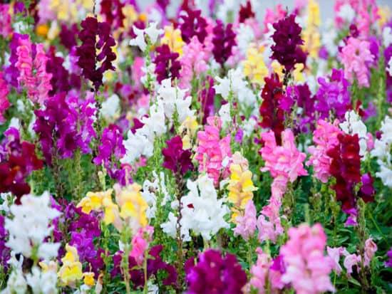 Colorful snapdragon flower