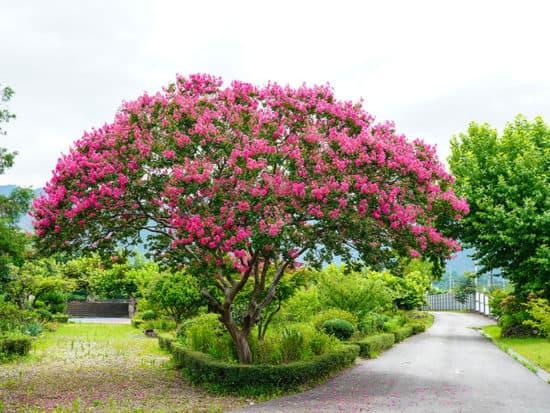 Crape Myrtle Beautiful Korean Garden