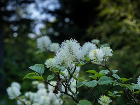 Exotic Fothergilla Growing In a Shady Garden