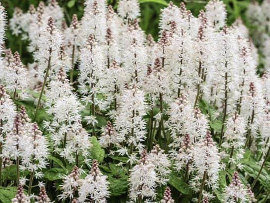 Foamflower Perennials in Bunch Planted in a Shady Garden