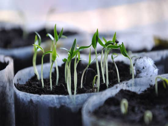Germination sprout vegetable crop transition plant