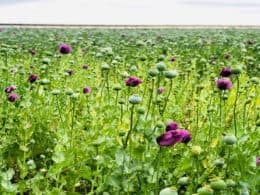 Grow poppies from seeds