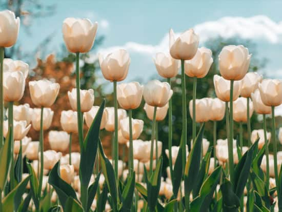 How White Tulip Flowers Grow In a Tulips Field