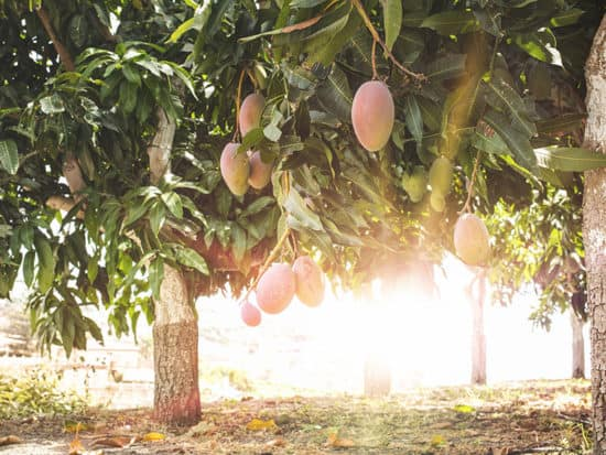 Mangoes on Branch Sunrays