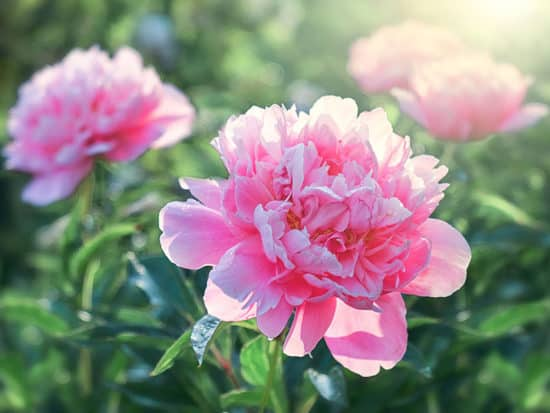 Pink Flower Peonies Flowering