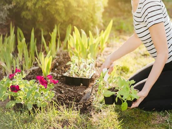 Planting petunia