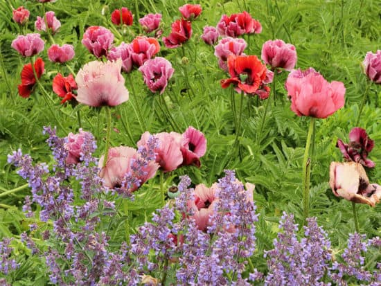 Plum oriental poppy