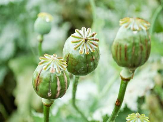 Poppy head opium