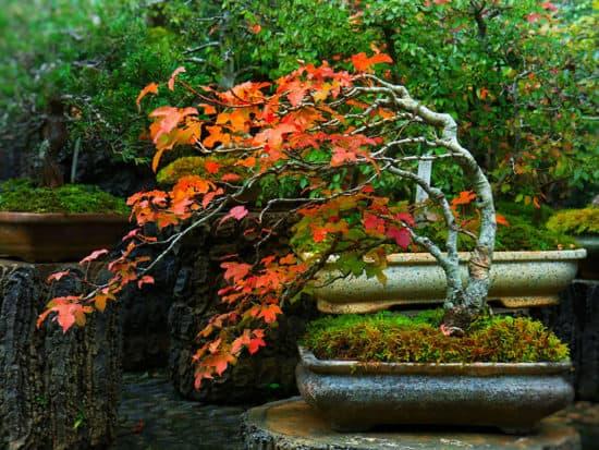 Red Maple Bonsai Tree Growth Pot