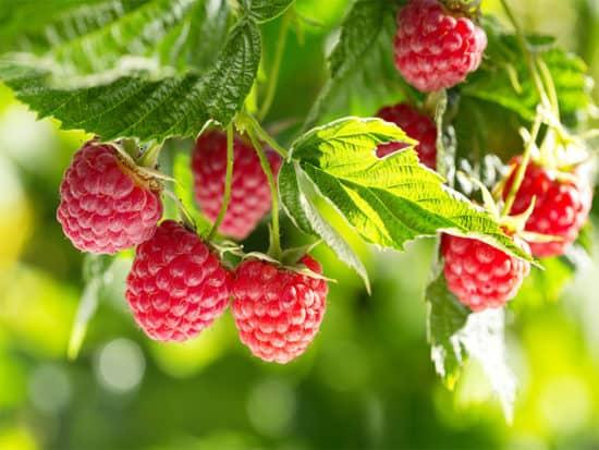 Ripe raspberries on a branch