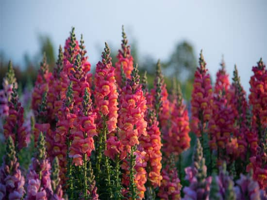 Snapdragon flowers in nature