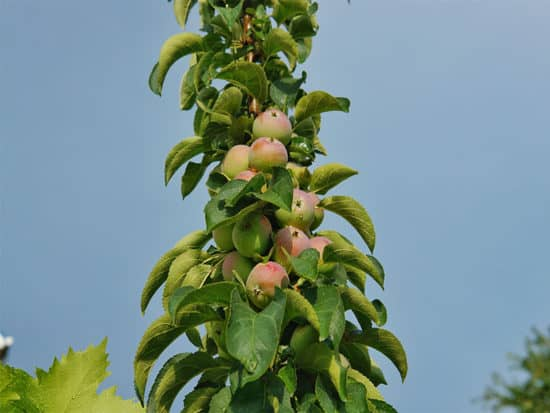 The fruit from the columnar apple