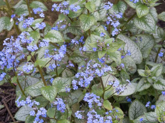 Tiny Brunnera Jack Frost Flowers Growing On Silvery Leaves