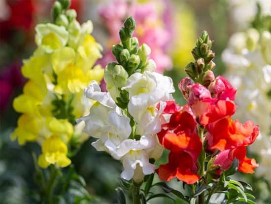 Vibrant colorssof snapdragon flower