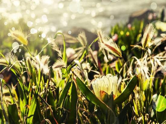 White ice plant