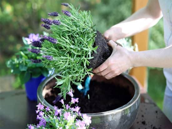 Woman cuts lavender