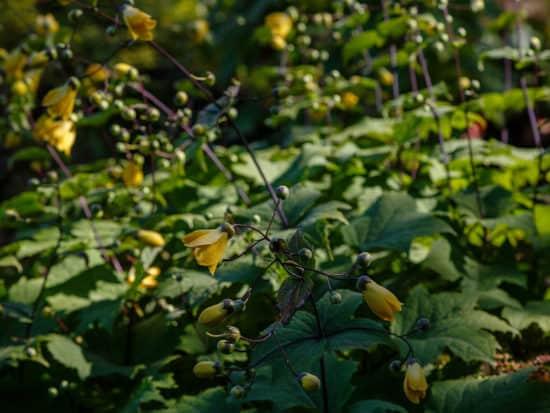 Yellow Wax Bells Growing in a Shady Garden