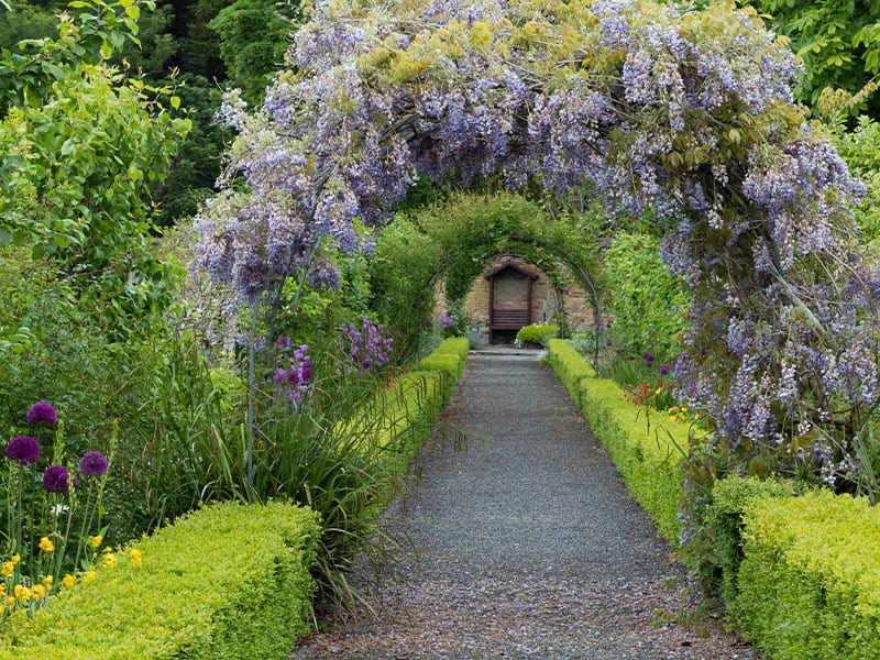 Arch of Wisteria Plant in Blossom