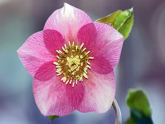 Beautiful pink hellebore flower
