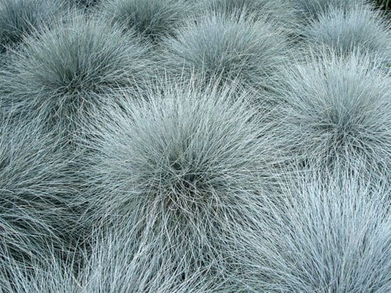 Blue fescue grass family