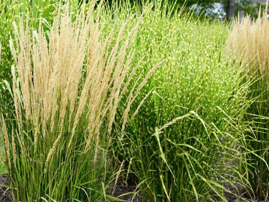 Feather zebra grass