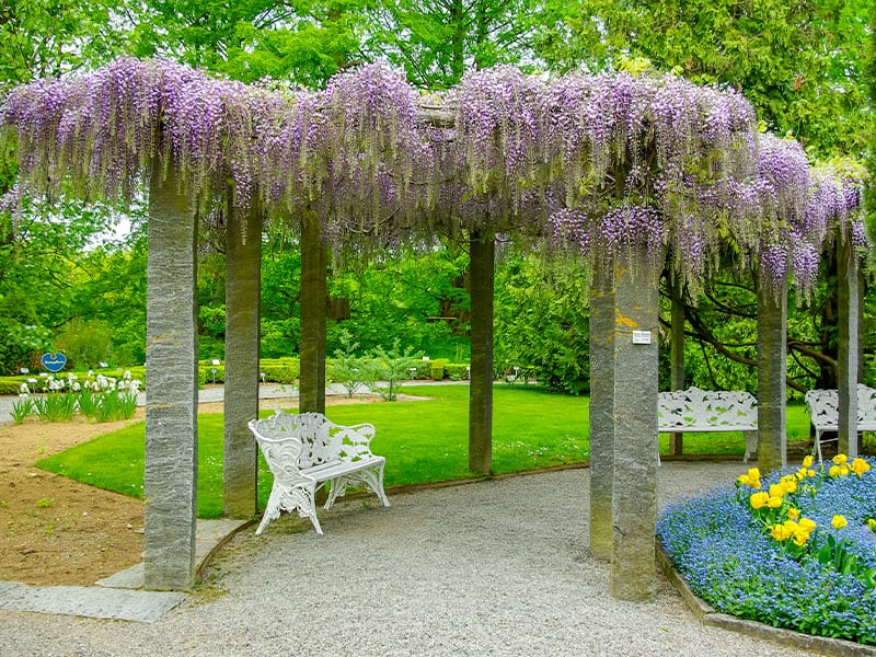 Grow Wisteria Over the Pergola
