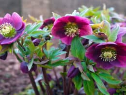 Hellebores-colorful-vigorous