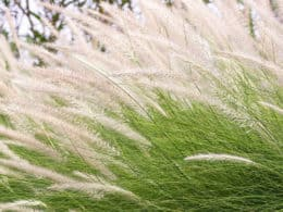 Feather grass nature
