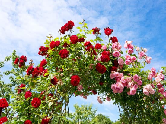 Red pink climbing roses
