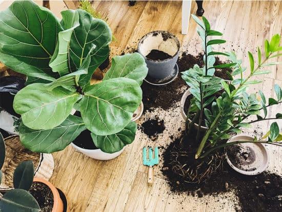 Repotting plants home ficus lyrata tree