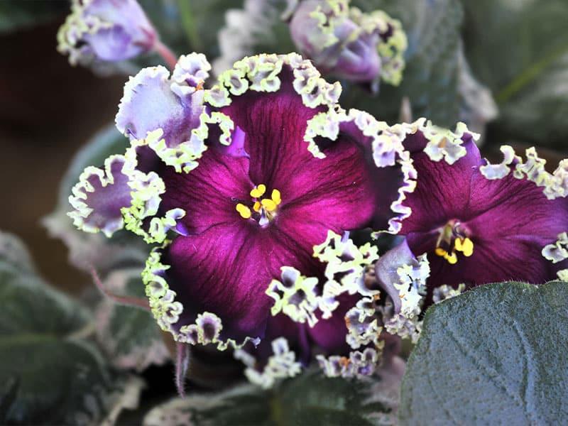 Some varieties of African violets