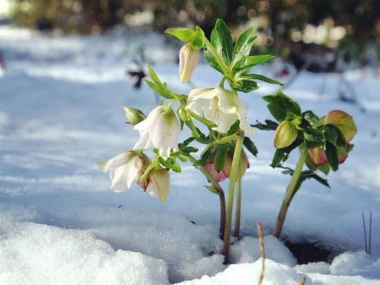 White hellebores lenten rose