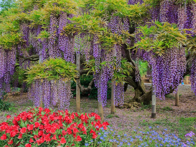 Wisteria is a Quick-Grower
