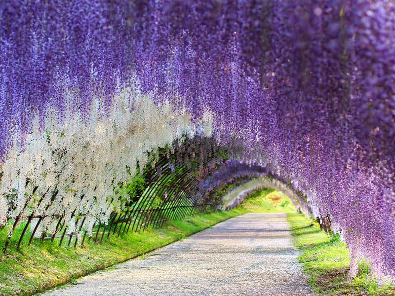 Japan Wisteria Plants